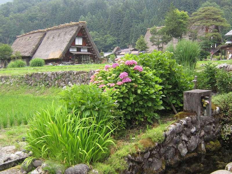 「白川郷(岐阜県白川村)」あじさいの咲く季節、のどかな景色の中を散策。