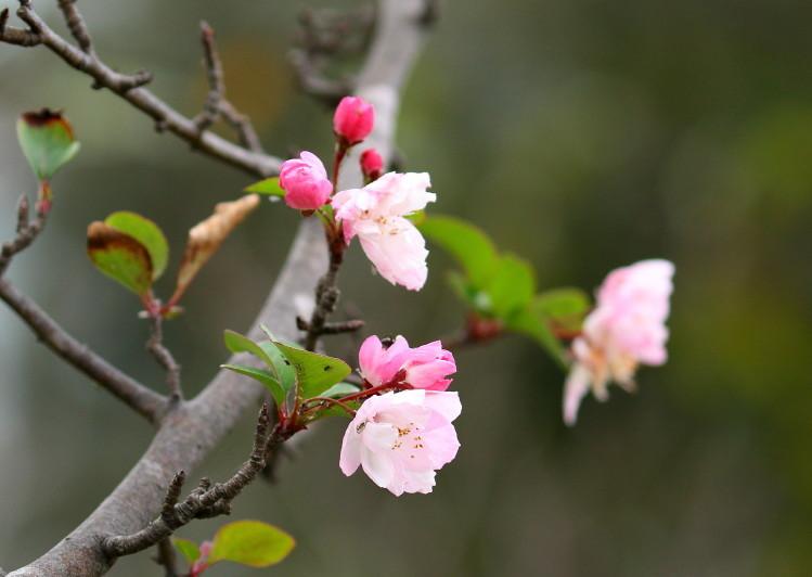 1M6A1458.JPGハナカイドウ狂い咲き