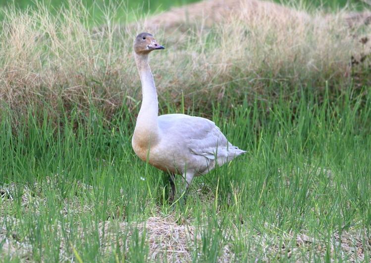 1M6A1813白鳥幼鳥