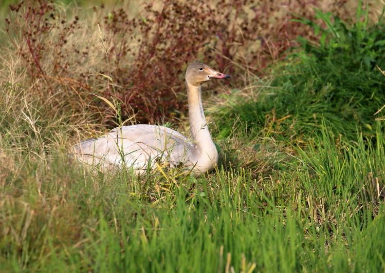 1M6A1887白鳥幼鳥