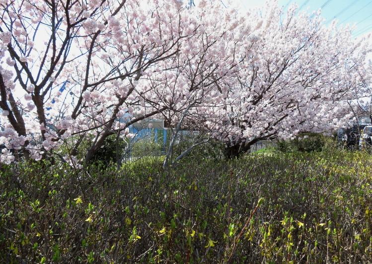 IMG_0333蟹ヶ谷小田原桜