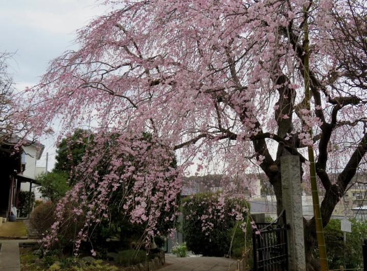 IMG_0350枝垂れ桜