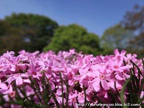 ブログNo.1512簡単(隠れてるつもり)&おまけ(芝桜の丘)4
