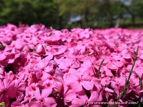 ブログNo.1512簡単(隠れてるつもり)&おまけ(芝桜の丘)5