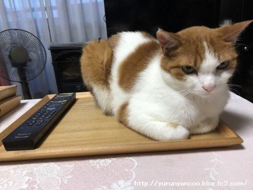 ブログNo.1585(トレイに乗った猫)1