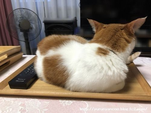 ブログNo.1585(トレイに乗った猫)5