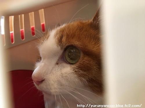 ブログNo.1384病院から帰宅後の猫(前編)&おまけ(Xmasツリー)1