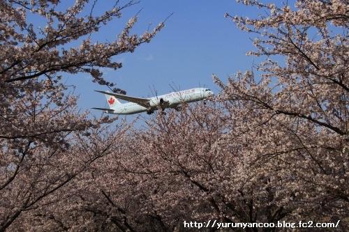 ブログNo.1502朝の布団4月上旬&おまけ(成田さくらの山公園)12